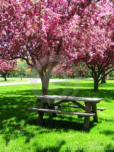 picnic-table-under-pink-flowering-trees