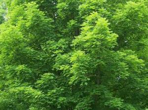 sugar-maple-in-summer