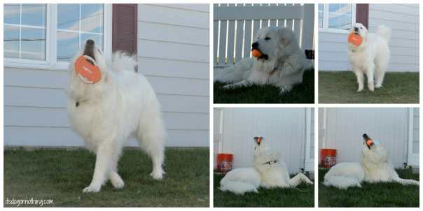 Great Pyrenees - Full Moon