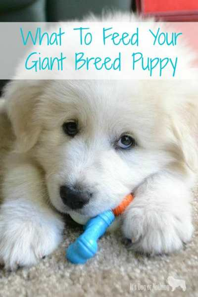 Determining what to feed your giant breed puppy can be challenging. Here is what you need to know.