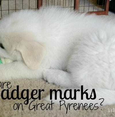 Great Pyrenees Badger Marks
