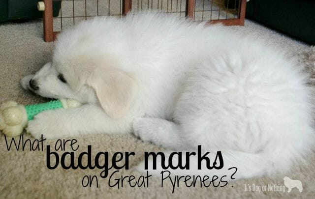 What are badger marks on Great Pyrenees and how do they change?
