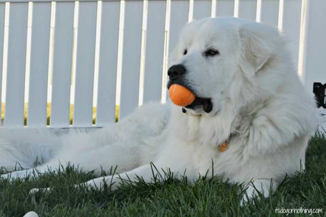 The struggles of a Great Pyrenees who just won't change his routine.