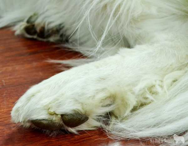 """Using the Micio Micia Dog Grooming Scissors to trim Great Pyrenees """"Grinch Feet"""""""