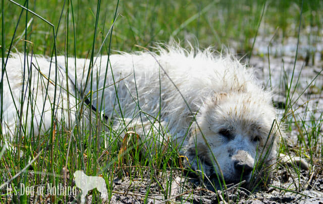 Why you should consider dry shampoo for your Great Pyrenees.