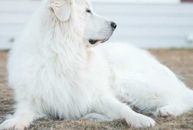 Great Pyrenees Guarding