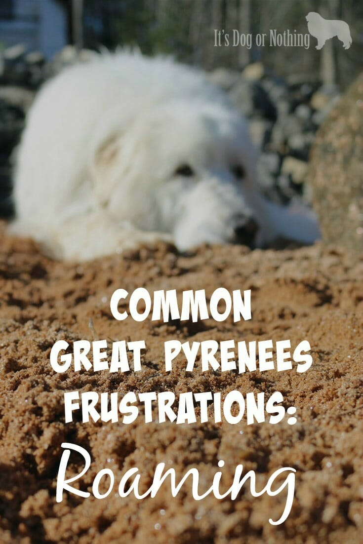 how to prevent great pyrenees roaming it u0027s dog or nothing