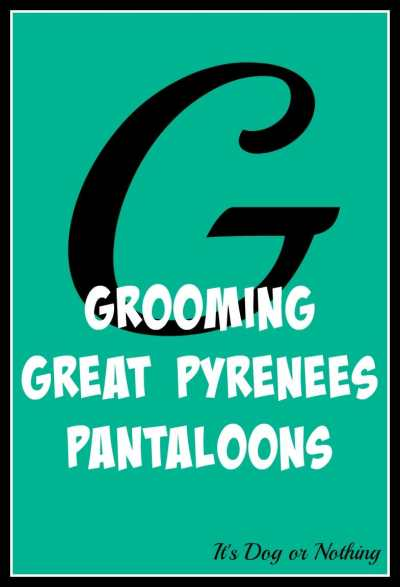 When it comes to giant breed health and nutrition, there's a lot that goes into raising a happy, healthy dog. We're going from A to Z talking about giant breed specific needs! Today, it's all about grooming Great Pyrenees pantaloons!