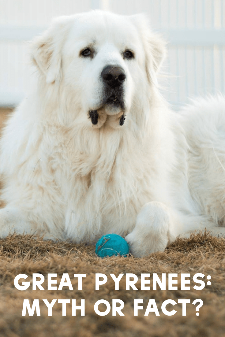 When it comes to the Great Pyrenees breed, do you know what's a myth and what's a fact? Here are a few Great Pyrenees facts, as well as common myths!