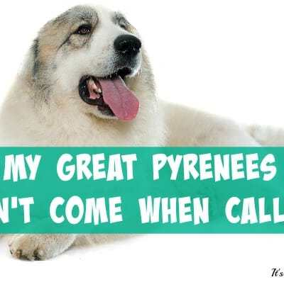 My Great Pyrenees Won't Come When Called!