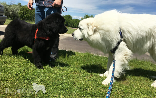 Great Pyrenees and Newfoundland puppy