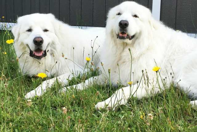 Great Pyrenees from It's Dog or Nothing
