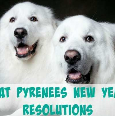 Great Pyrenees New Year's Resolutions