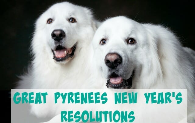 I set goals for myself every year, so why shouldn't Mauja and Atka have goals as well? Here are our Great Pyrenees New Year's Resolutions.