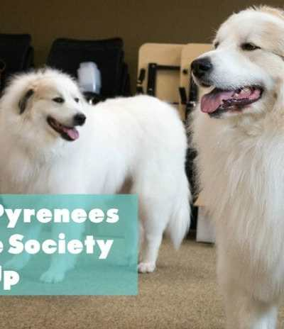 Great Pyrenees Rescue Society Meet Up