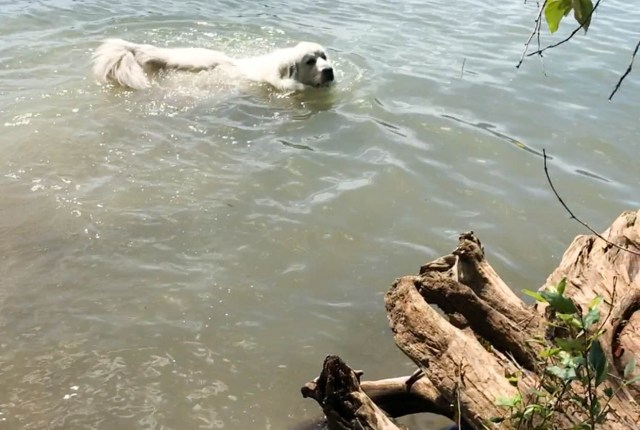 The Great Pyrenees from It's Dog or Nothing spent the day at Alder Lake enjoying the water and sunshine.