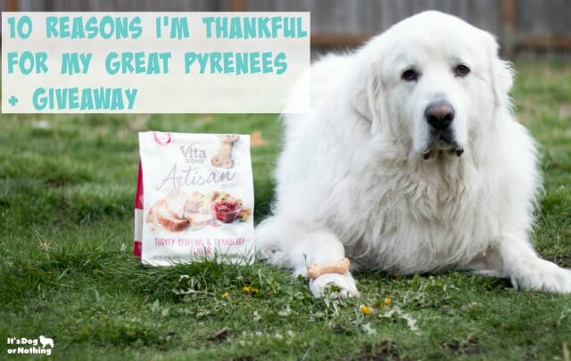 This Thanksgiving, I'm sharing 10 reasons I'm thankful for my Great Pyrenees. I found the pyrfect way to show them how much I care - through Vita Bone Artisanal Treats.