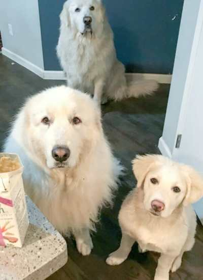 10 Tips for Training a Great Pyrenees