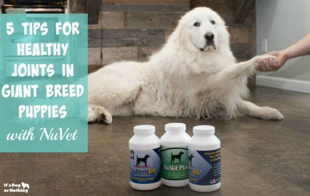 Giant breed puppy growth can be tricky, but it doesn't have to be. Here are 5 tips for healthy joints and our favorite joint supplement, NuVet's NuJoint DS.