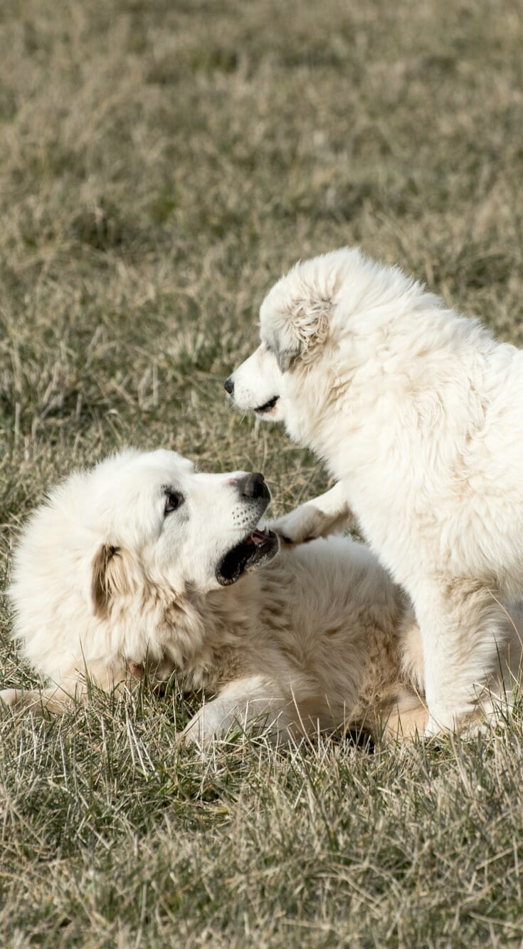 Breeding Great Pyrenees: Does Job Matter?