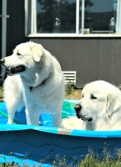 Summer can be rough, you guys. Even though we're in the PNW, we've had quite the heat this year. Here's how we keep cool, and 11 other Great Pyrenees trying to keep cool.Summer can be rough, you guys. Even though we're in the PNW, we've had quite the heat this year. Here's how we keep cool, and 11 other Great Pyrenees trying to keep cool.