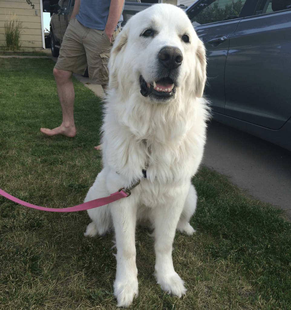 Bell | Great Pyrenees Rescue| It's Dog or Nothing