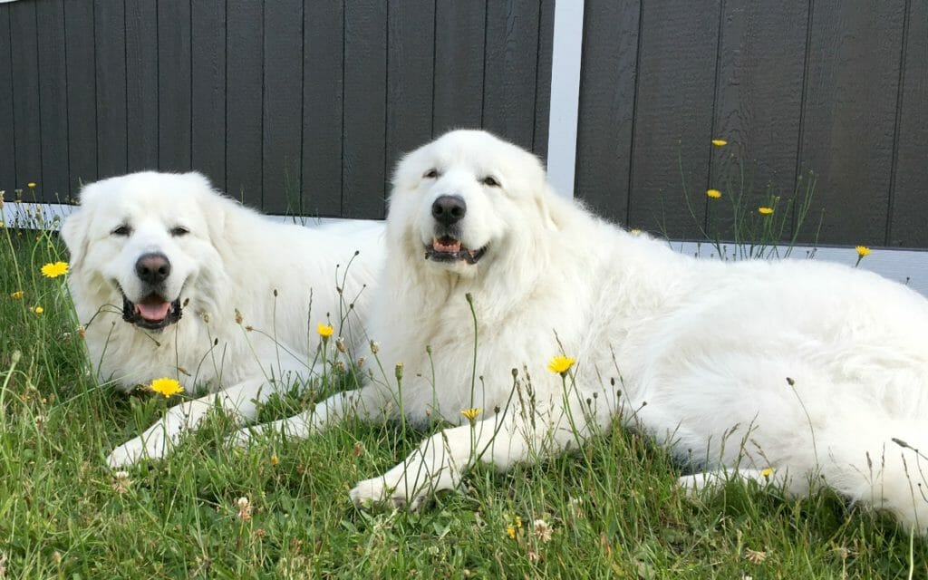 10 Tips For A Happy Great Pyrenees Its Dog Or Nothing