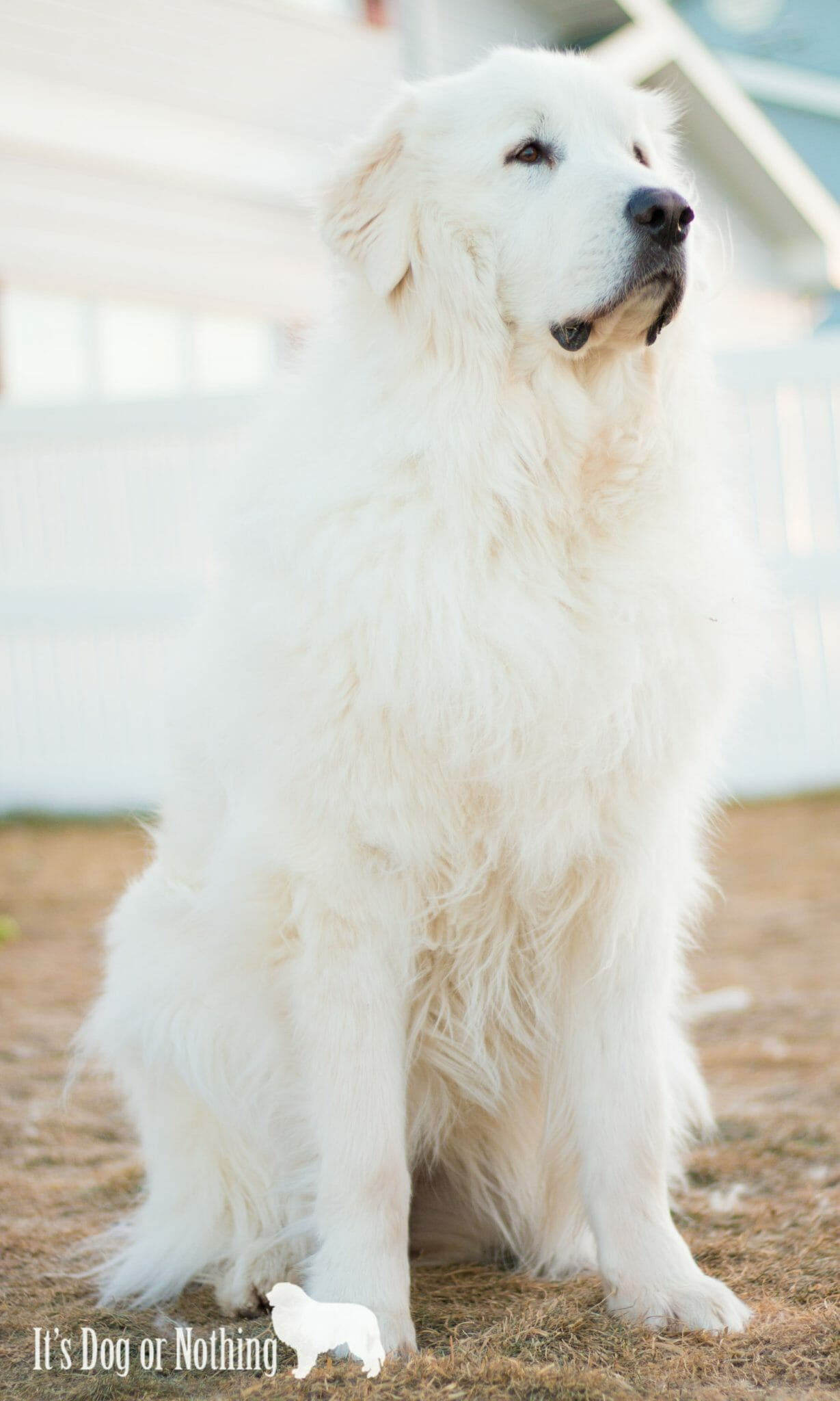 Great Pyrenees Info: A Beginner's Guide | It's Dog or Nothing  Have you thought about adding a Great Pyrenees to your family? Here's a basic guide to determine if a pyr might be a good fit!