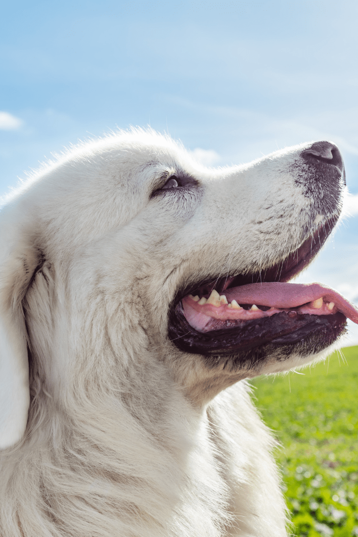 6 Reasons NOT to Get a Great Pyrenees