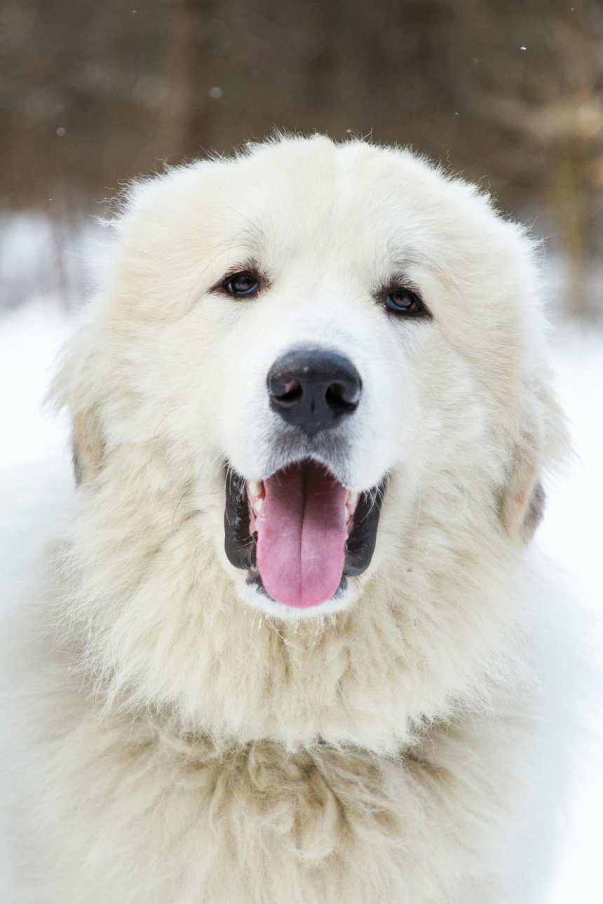 How Much Does a Great Pyrenees Cost?