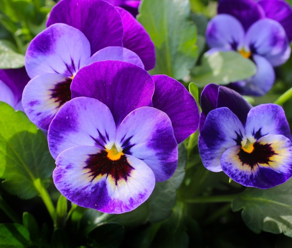 blue winter pansy flower with deep purple accents and yellow centers.