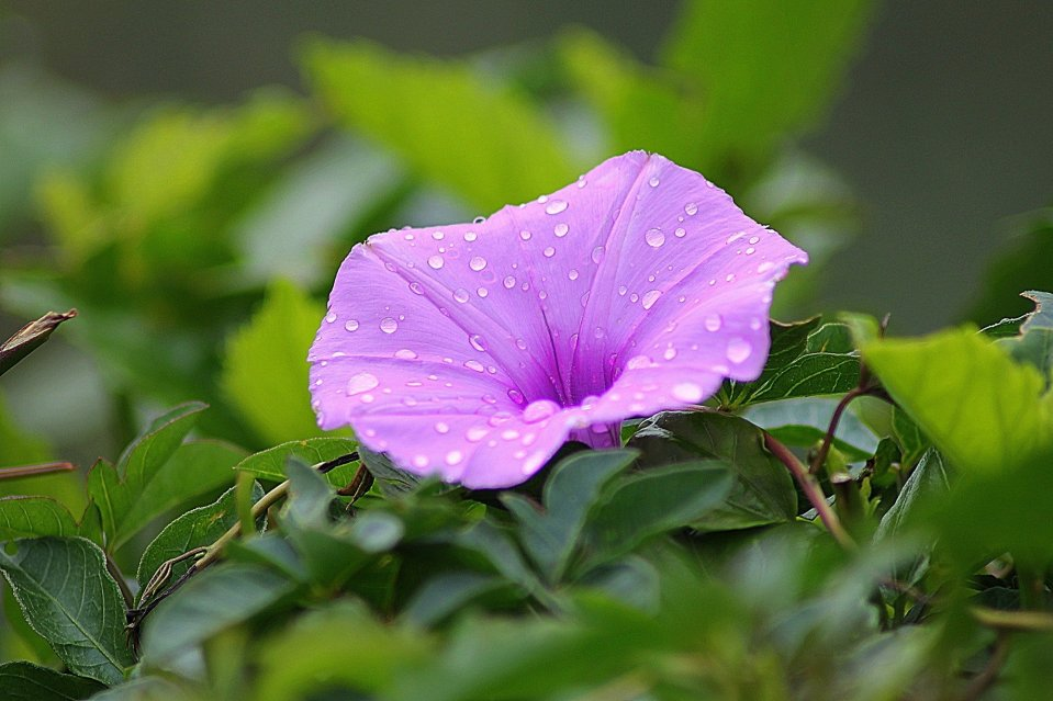 Purple Morning Glory flower with dew drops