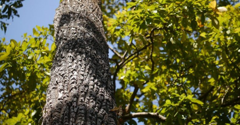 state tree of goa