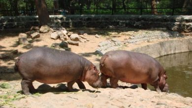 Photo of Female Hippopotamus in bondla zoo dies after a domestic row