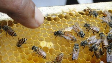 Photo of Beekeeping gets more interesting and lucrative