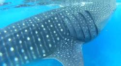 Capture of whale shark 3