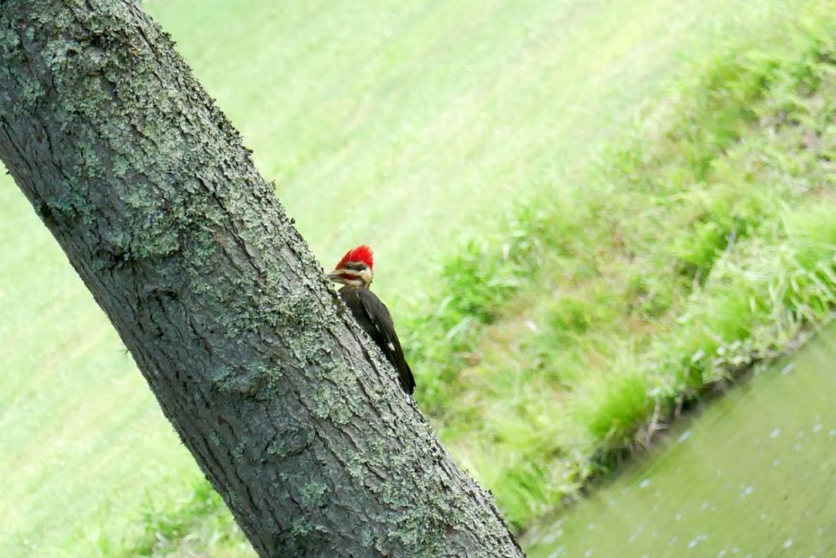 pileated woodpecker2