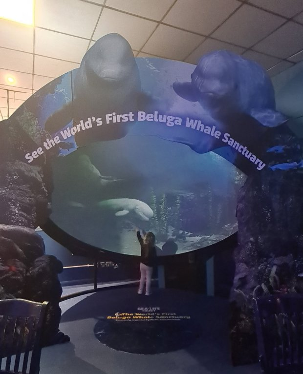 Sea Life Beluga Whale Project Shanghai to Iceland