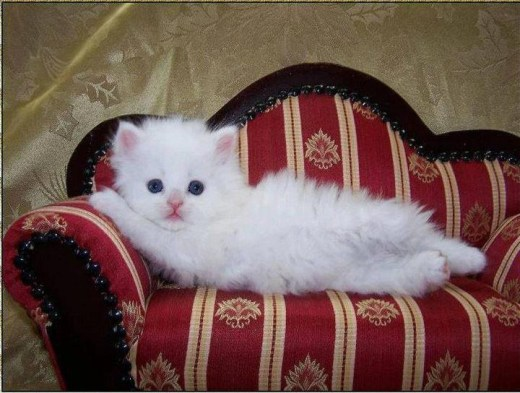 beautifil white-cat-picture
