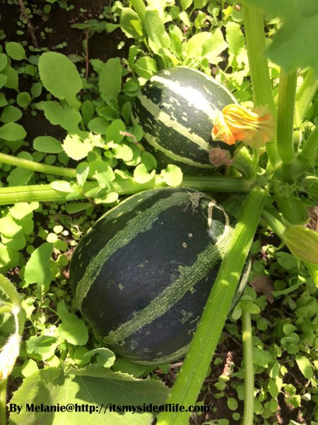 SqushZini! I cross bred Squash and Zucchini :)