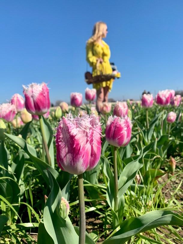 texas tulips san antonio