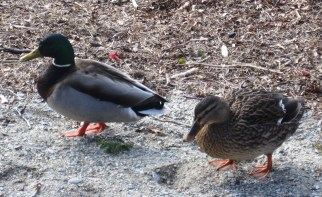two ducks a begging