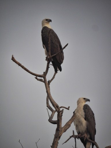 White-Bellied Eagle