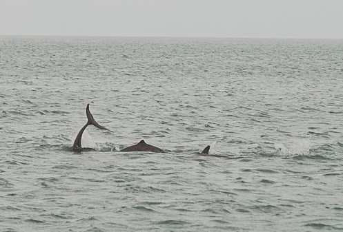 Snubfin Dolphins