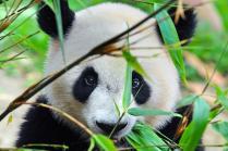 china_chengdhu_giant_panda