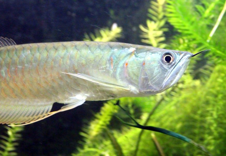 Things to know before buying Arowana fish