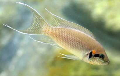 Aquarium Fish Species Profile-Part 4