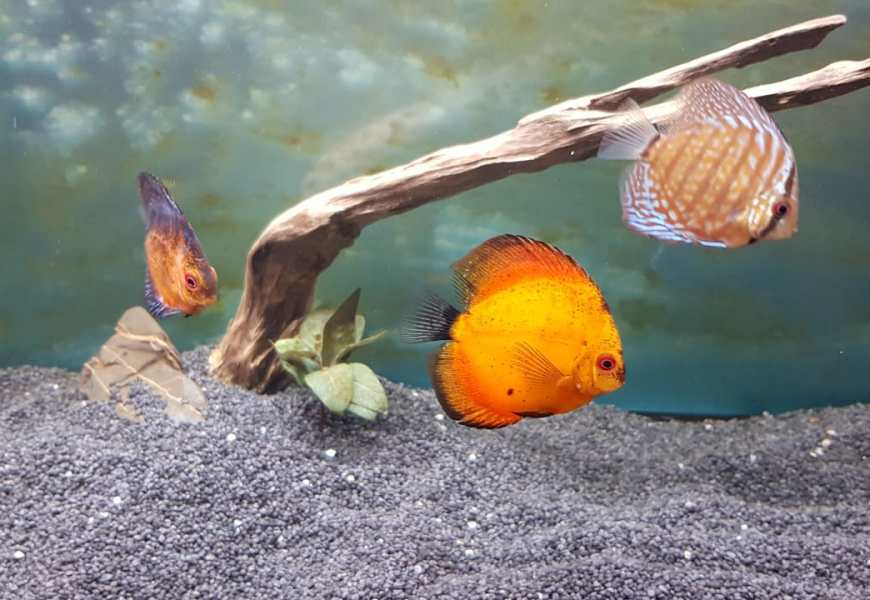 Which are the best Discus Fish foods ?