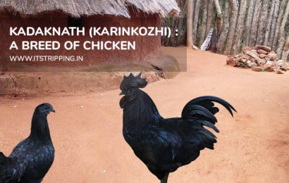 Kadaknath (Karinkozhi) : A Breed of Chicken