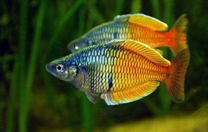 Aquarium Fish Species Profile-Part 2